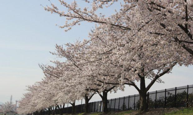 かみさと桜まつり